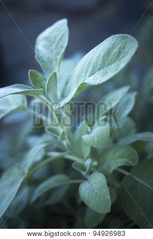 Sage Leaf Herb Seasoning Plant Growing