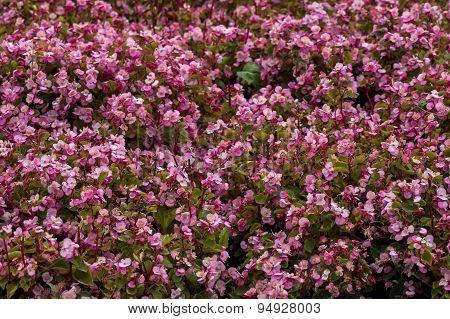 Background of begonia flower