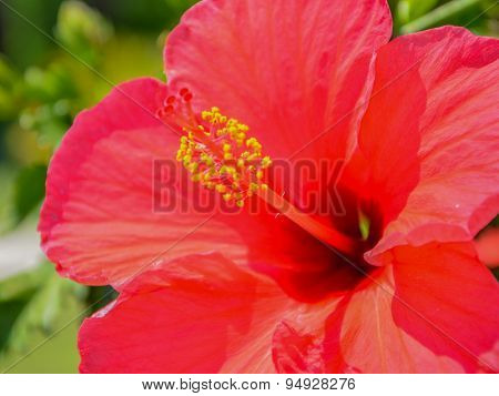 Macro Hibiscus Flower Heart