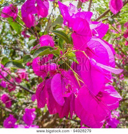 Macro Fuchsia Bougainvillea Flower