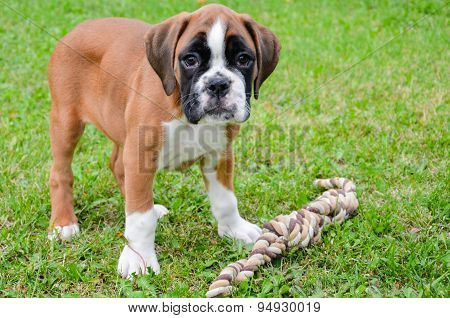 Beautiful Boxer Puppy Playing With Rope
