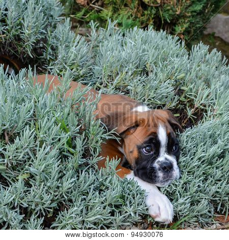 Beautiful Boxer Puppy Female Fawn Playing In Lavender