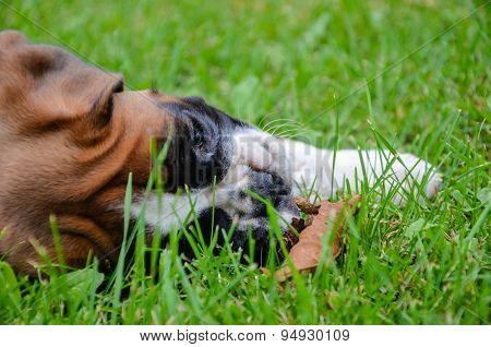 Beautiful Fawn Boxer Puppy Lying On The Grass With A Dead Leaf