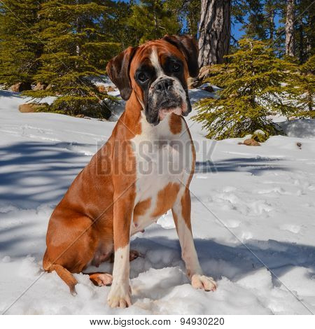 Female Boxer Dog Sitting In The Snow