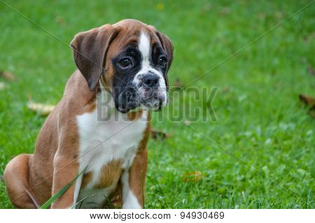 Beautiful Boxer Puppy Sitting In The Grass