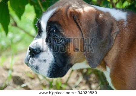 Beautiful Boxer Puppy Alert