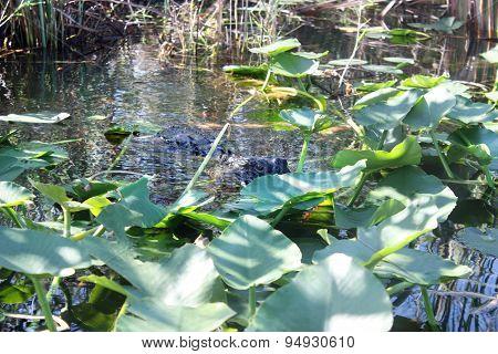 Alligator In Tropics