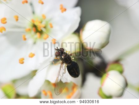Insect On Blossom