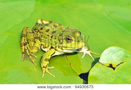 Green Frog On The Lake