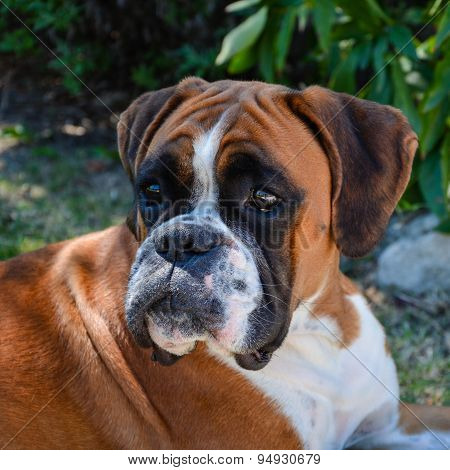 Beautiful Boxer Dog Fawn Attentive And Lying.