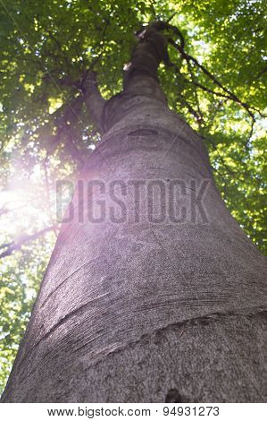 Looking up into beech foliage