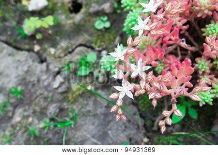 Sedum stonecrop Spanish close up in a summer city park.