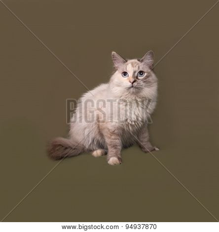 Siberian Cat Seal Point Sitting On Green