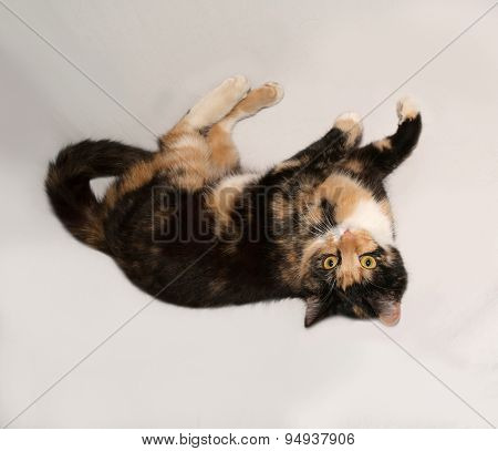Tricolor Young Cat Lies On Gray