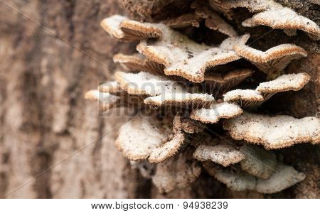 Sharp macro closeup fungus image of smoky bracket saprotroph Bjerkandera adusta tree mushroom\