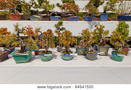 Exhibition Of Bonsai Trees In Takamatsu Castle, Japan