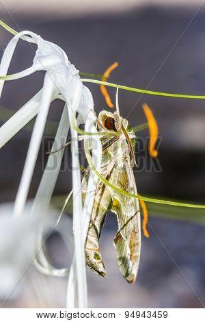 Army Green Moth (daphnis Nerii) On Flower