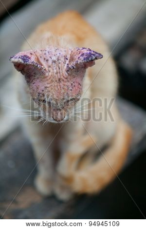 Sick Cat With Skin Disease, Close Up.