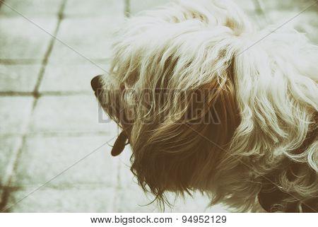 Hairy Dog