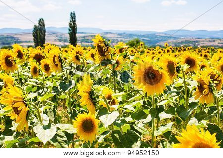 Field of beautiful sunflowers, landscape and cloudy blue sky