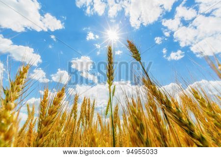 Wheat Ears And Sun