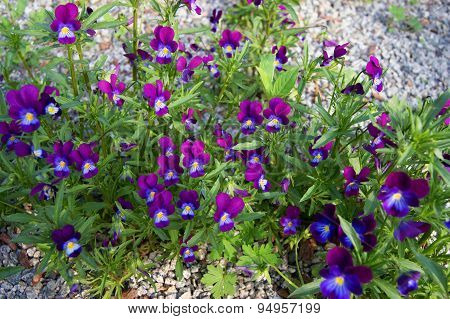 Beautiful flower pansy
