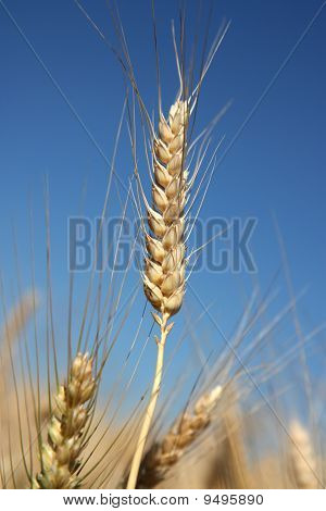 Detail Of Barley Spike