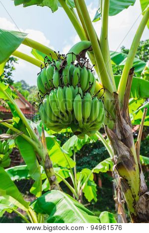Banana Tree With A Bunch