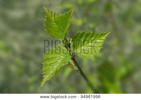 Young Spring Green Leaves Of Birch