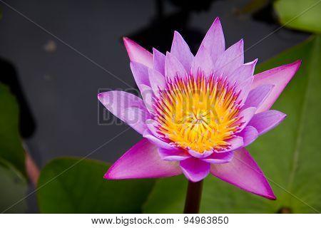 Pink Water Lily Or Lotus
