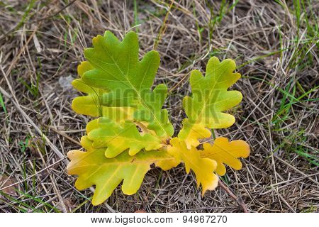 ?olored Oak Leaves