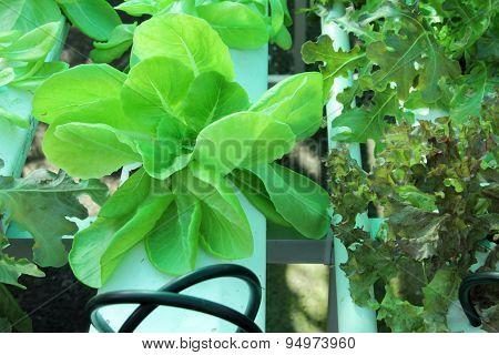 Hydroponic Farm Salad