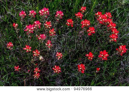 Bright Orange Indian Paintbrush Wildflowers in Oklahoma