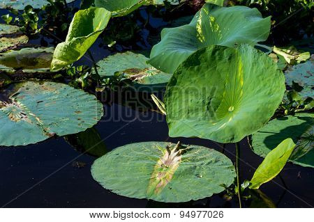 Large Lily Pads in Lake