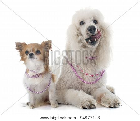 Standard Poodle And Chihuahua