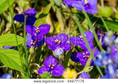 Giant Spiderwort (Tradescantia gigantea) Purple Wildflowers in Texas