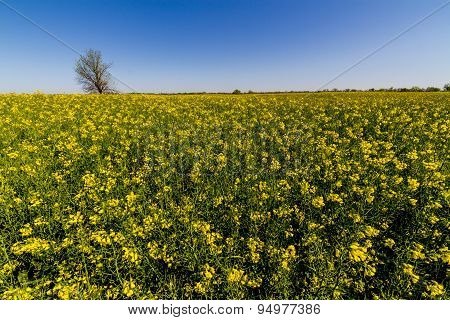 Flowering Canola (Rapeseed) Plants Growing on a Farm