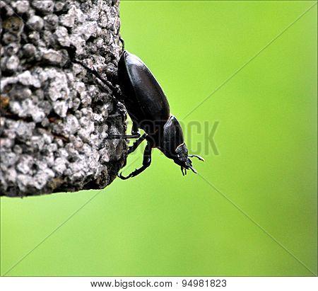 black beetle - Stag