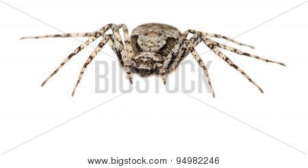 Grey spider isolated on a white background. Macro.