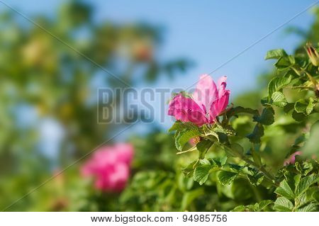Dog roses with blue sky