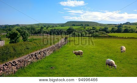 Sheep in Haslingden Grange, England UK
