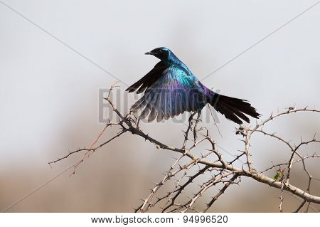 Burchell's Starling Take Off From Thorny Tree