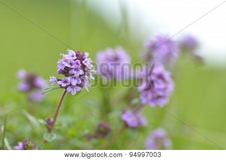Thymus , Thyme - Healing Herb And Condiment Growing In Nature