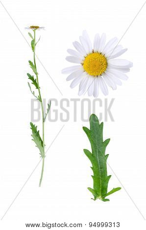 Oxeye And Details