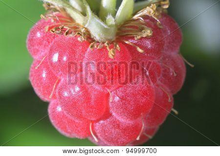 Close-up  Raspberry