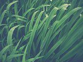 foto of wetland  - Pastel Filter Image Of Tall Wetland Grass - JPG