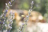 pic of flying-insect  - Lavendar herb bush honey flying insect sucking nectar growing in vegetable garden photo - JPG