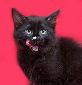 picture of licking  - Small fluffy black kitten licked on red background - JPG