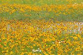 stock photo of cosmos flowers  - Field of colorful cosmos flowers - JPG