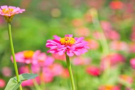 picture of zinnias  - Abstract Blurred Zinnia flower Zinnia flower in motion blur